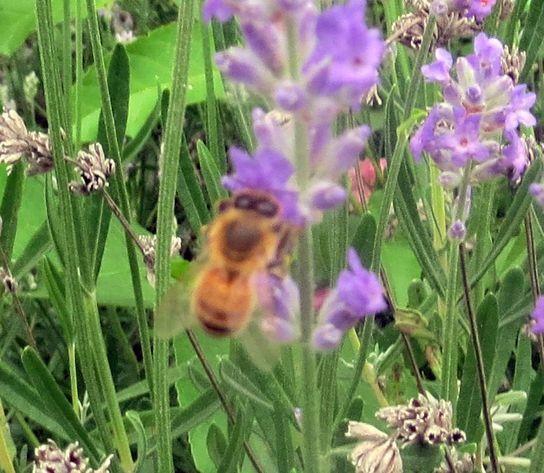 Bienchen im Lavendel