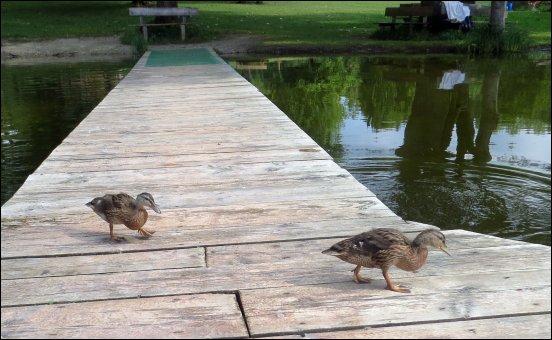 Die hungrigen Enten kamen sofort an, aber leider hatten wir kein Brot. Enttäuscht zischten sie wieder ab ins Wasser