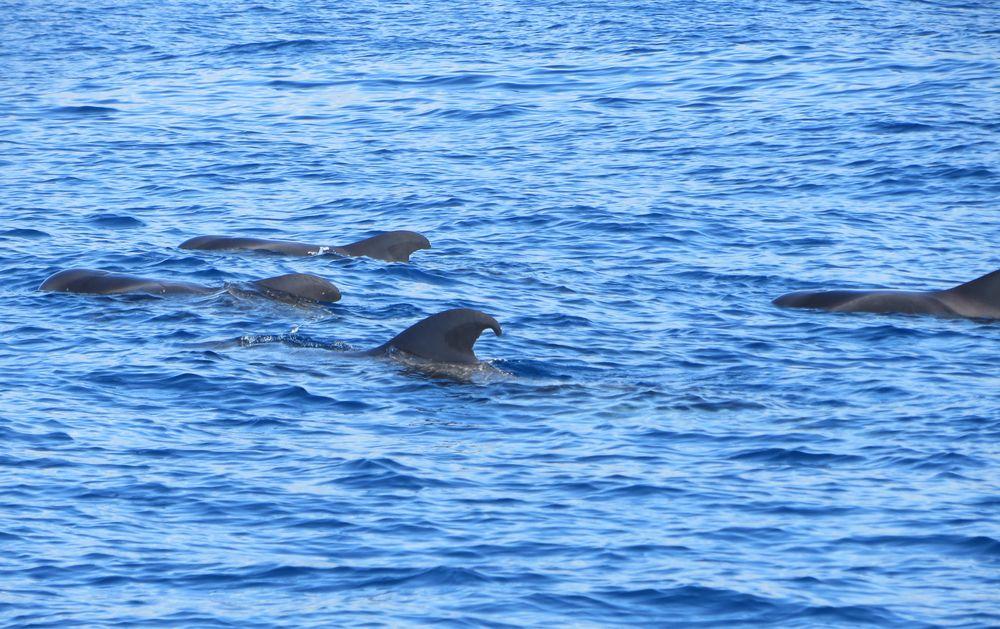 Wale auf Teneriffa